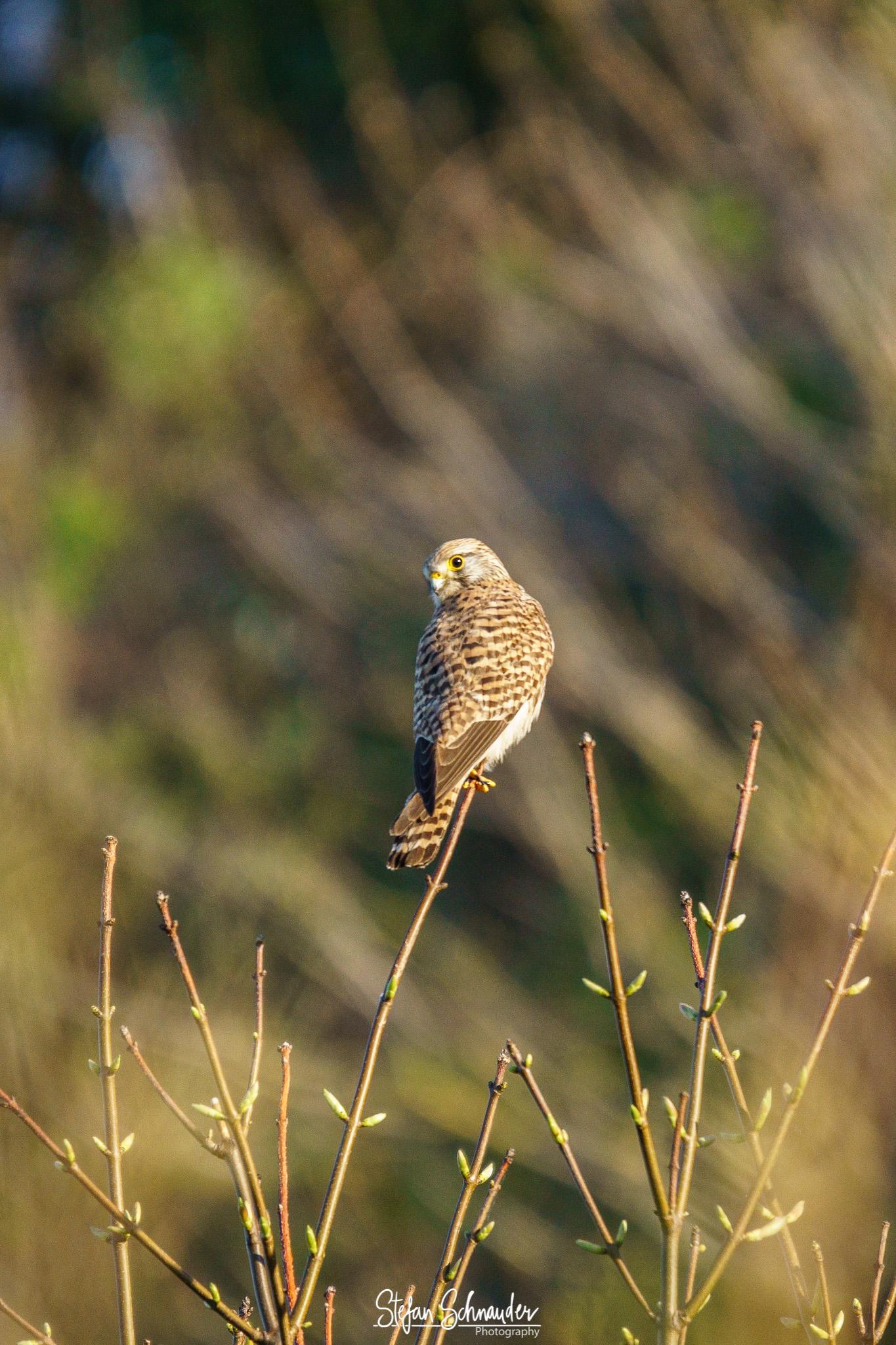 Helgoland - Turmfalke / Falco tinnunculus