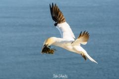 Helgoland - Basstölpel / Morus bassanus