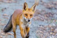 Burgenland - Fuchs / Vulpes vulpes