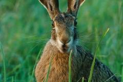 Burgenland - Feldhase / Lepus europaeus