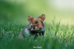 Wien - Feldhamster / Cricetus cricetus / Europäischer Hamster
