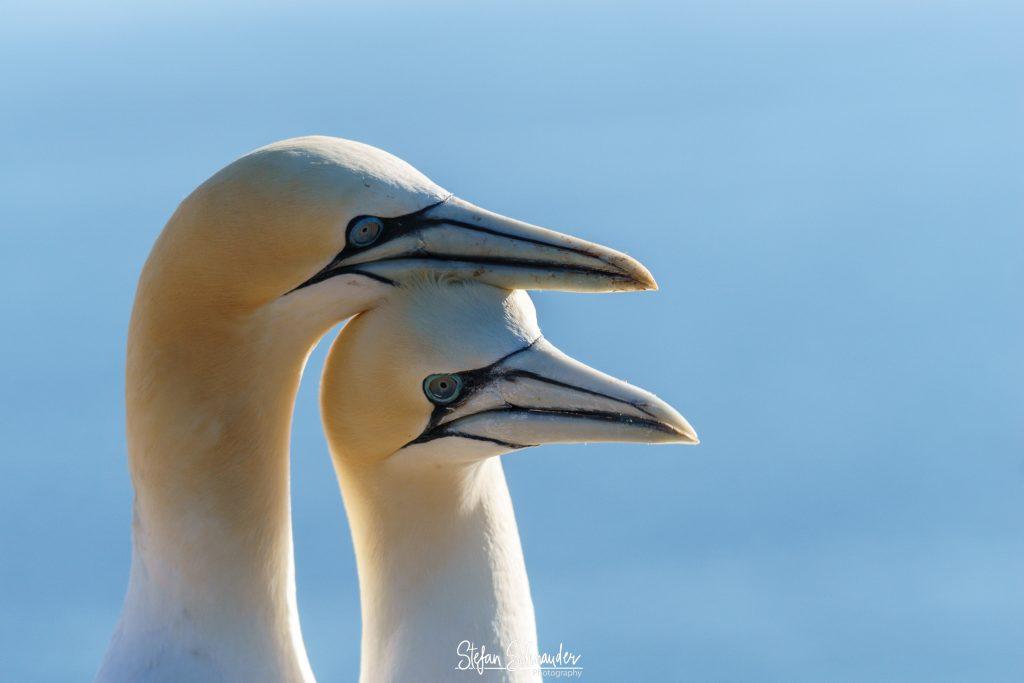 Helgoland - Basstölpel /Morus bassanus