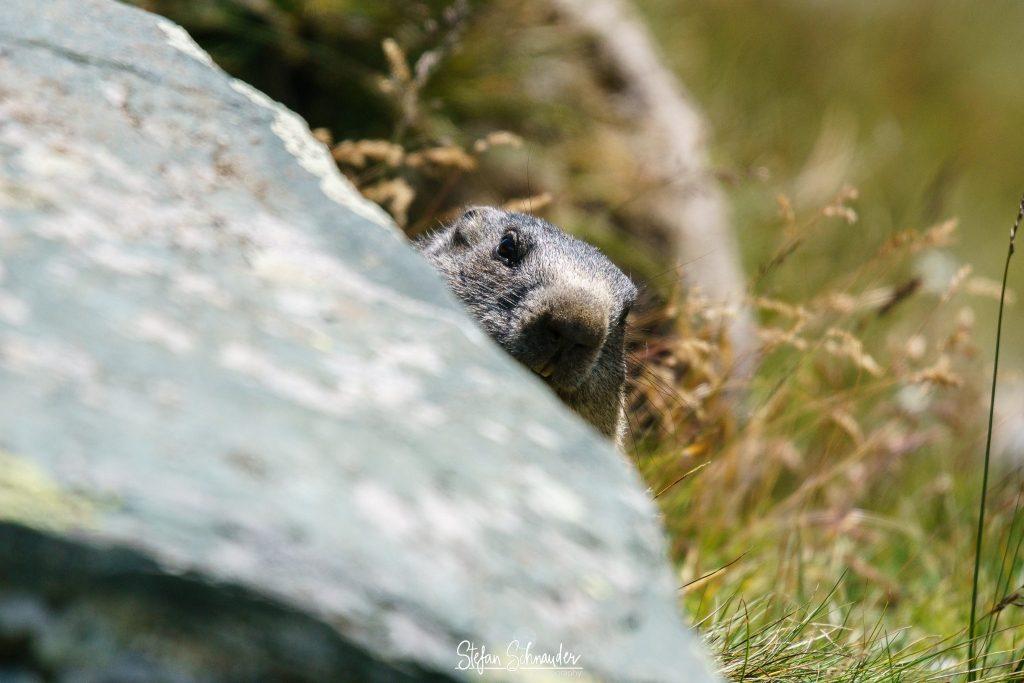 Großglockner - Alpenmurmeltier / Marmota marmota / Mankei / Murmel / Murmeltier